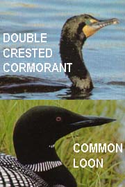 Loons, cormorants and other species affected by the oil spill.