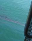 First morning aerial views of the 2003 Bouchard 120 spill in Buzzards Bay.