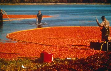 Cranberry Harvest on a Massachusetts Flooded Bog