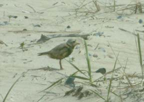 piping plover at Barneys Joy