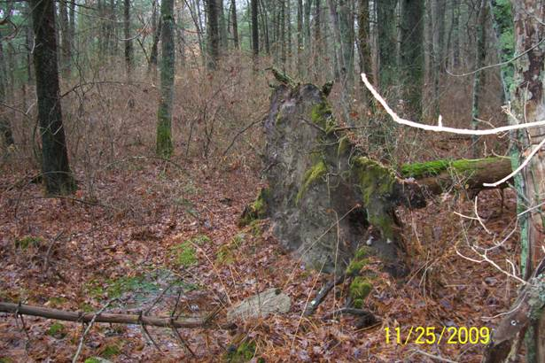 Blowdown due to shallow root system.